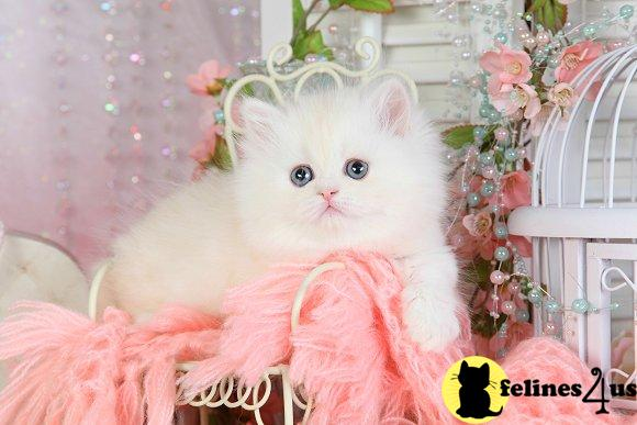 dollfacepersiankittens Picture 1