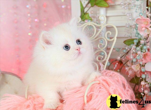 dollfacepersiankittens Picture 2
