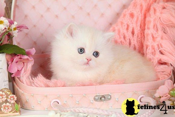 dollfacepersiankittens Picture 3
