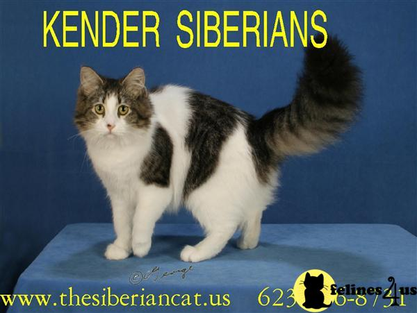 Kender Siberians Picture 1
