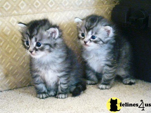 Kender Siberians Picture 3