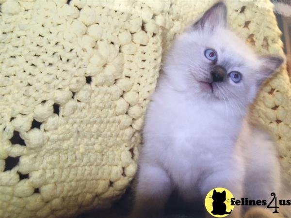 Ragdollkittycats@aol.com Picture 1