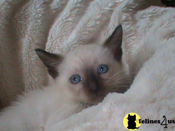 siamese_colorpoints Picture 2