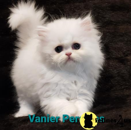 Vanierpersians Picture 1