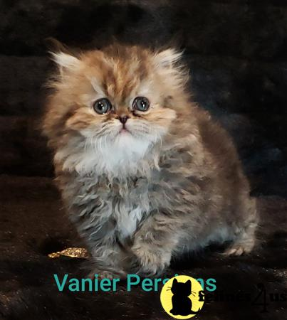 Vanierpersians Picture 3
