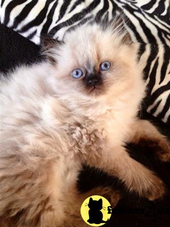 Purrfect Persians Picture 1