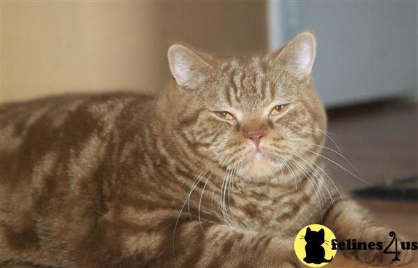 British Shorthair Kitten for Sale: Beautiful cinnamon tabby
