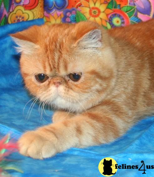 Exotic Shorthair Kitten for Sale: Red Classic Tabby Exotic ...