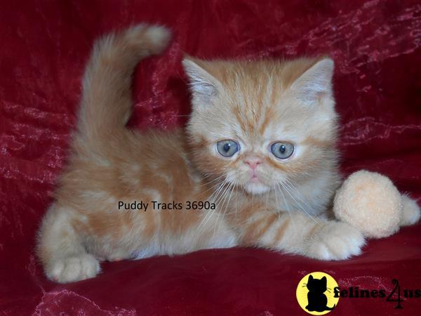 Exotic Shorthair Kitten for Sale: Spunky Red Classic Tabby ...