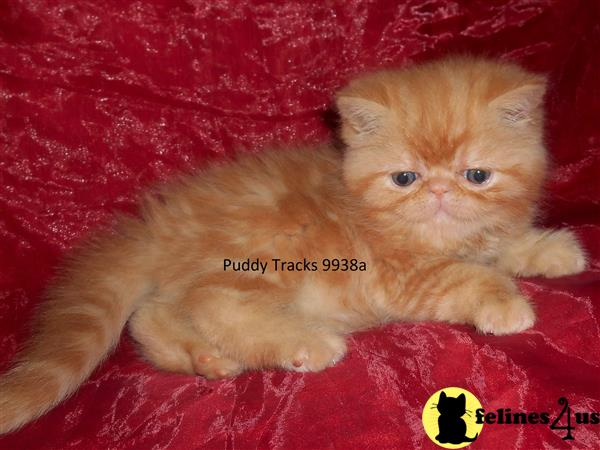 Exotic Shorthair Kitten for Sale: Beautiful Red Tabby Baby