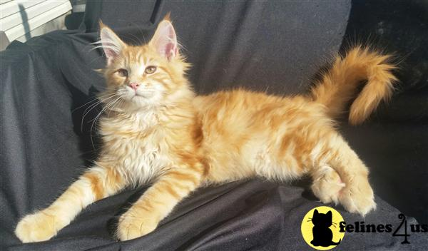 Maine Coon Cat For Sale North Carolina