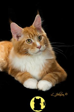 Maine Coon Kitten for Sale: GORGEOUS MAINE COON KITTENS 19
