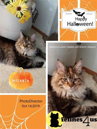 Maine Coon Kitten For Sale Gorgeous Maine Coon Kittens 23 Weeks Old