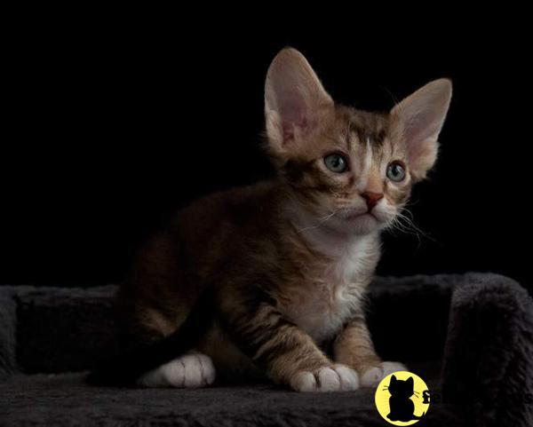 LaPerm Kitten for Sale...