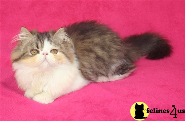 Home Kittens For Sale Persian tabby and white baby boy CFA