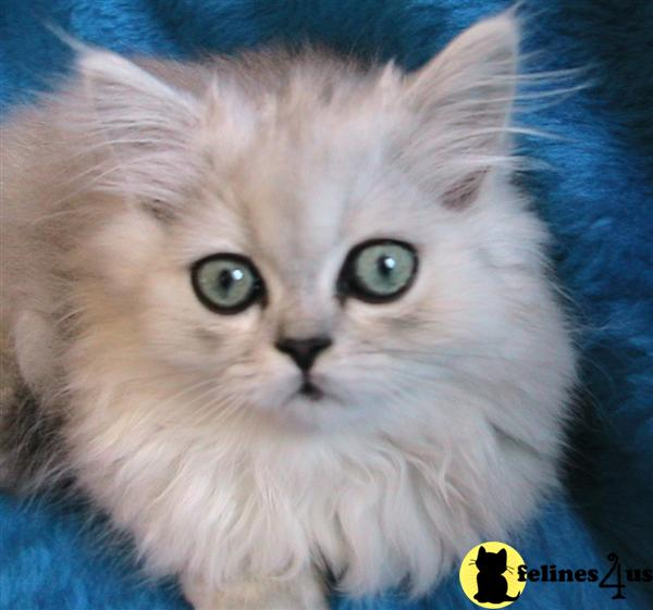 Persian Kitten for Sale: Very small dwarf Napoleon and Persian 2 Yrs ...
