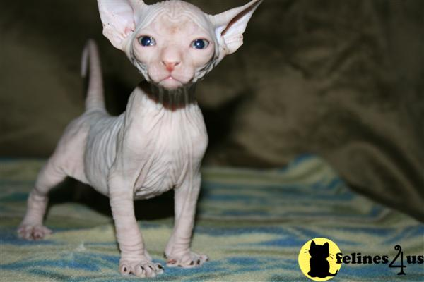 Sphynx Kitten for Sale: sphynx kittens 11 Yrs and 3 Mths old