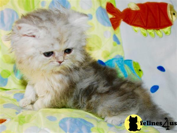 Home Kittens For Sale Persian bubbly Adorable Bue Persian kitten