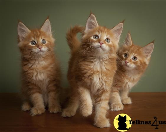 Maine Coon Kitten for Sale: Courteous Gccf Registered Maine Coon Kittens 13 Weeks old