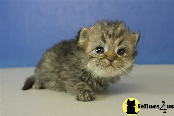 Ragamuffin Kitten for Sale: Dandy - Silver Golden Tabby Male