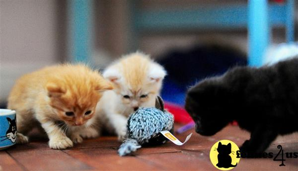 Maine Coon Kitten for Sale: Cute Purebred Maine Coon Kittens