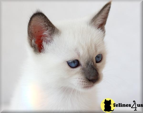 Chicago Simease Cats For Sale