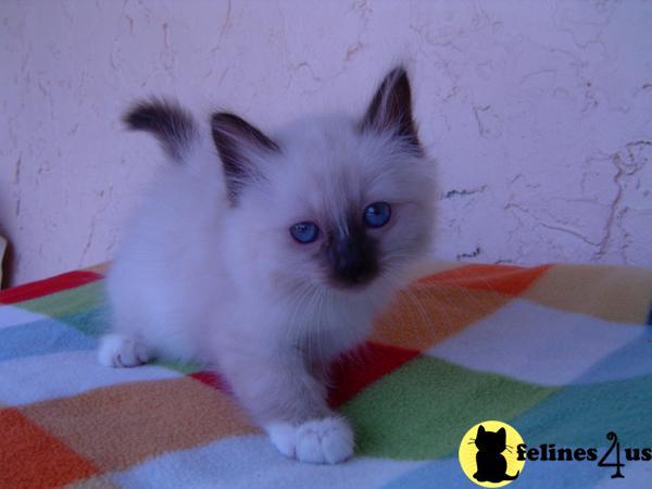 Birman Kitten for Sale...