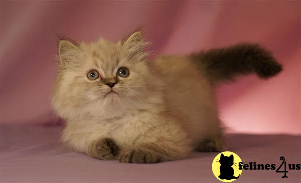 Himalayan Kitten for Sale: Kittybabies com 11 Yrs and 1 Mths old