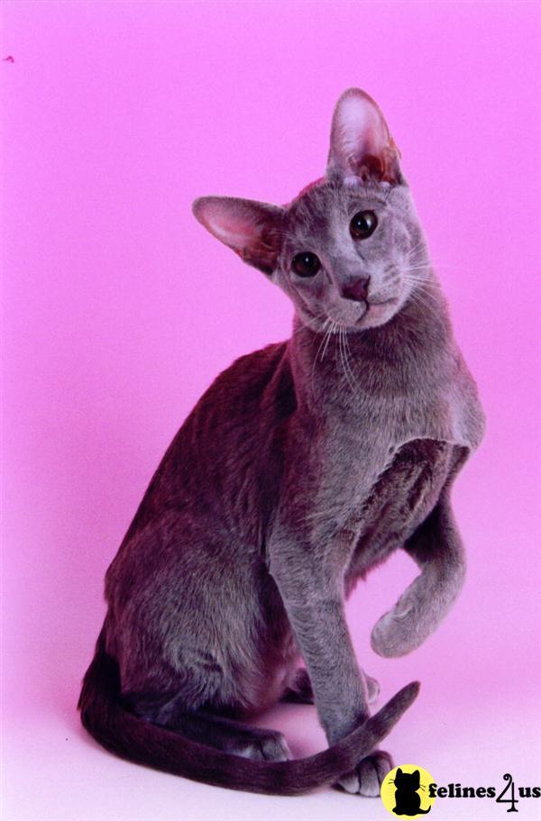 Oriental Kitten for Sa...