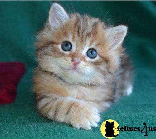 Siberian Kittens for Sale