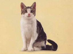 American Wirehair Cat Breed
