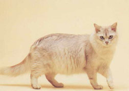 Asian Longhair-Tiffany Cat Breed