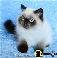 himalayan kitten posted by kingdomkatz