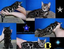 bengal kitten posted by sterlingbengals
