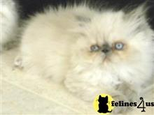 himalayan kitten posted by Vivalia