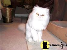 persian cat posted by Vivalia