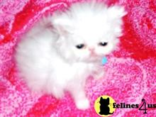 persian kitten posted by Vivalia