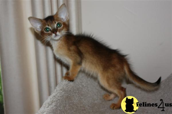 Abyssinian Kittens in Illinois