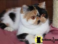 exotic shorthair kitten posted by ziakatz