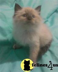 ragdoll kitten posted by krystalbluerags
