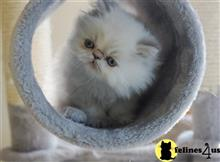 himalayan kitten posted by sundancerpersians
