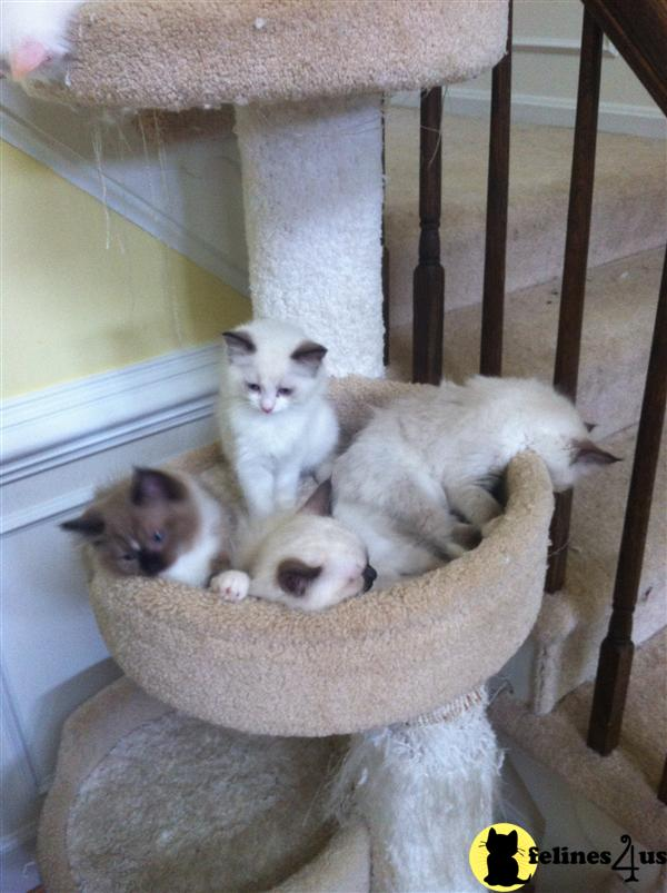 VA USA, Ragdoll Kittens