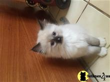 ragdoll kitten posted by ragdollsearch