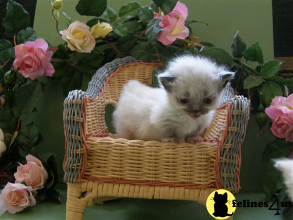 Kittens for Sale in Massachusetts