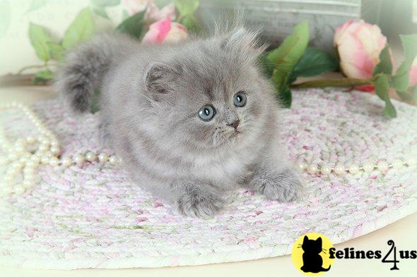 Blue Persian Kitten For Sale