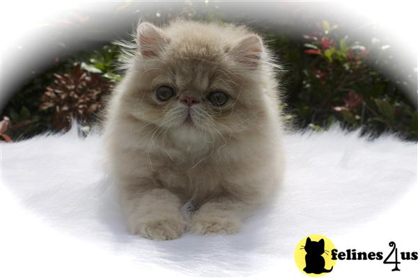CFA registered cream tabby Persian male available