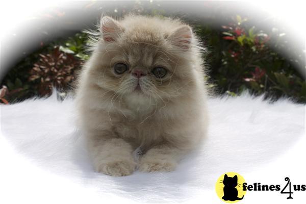 Pin Munchkin Cat On Tumblr on Pinterest
