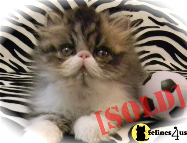 Brown Tabby/White Male Persian Kitten