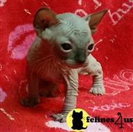 sphynx kitten posted by foxfirepapillons