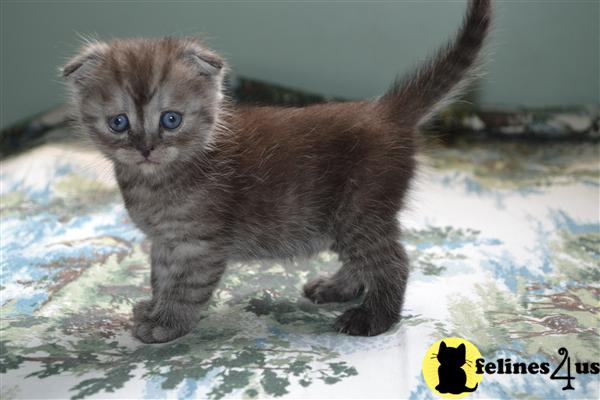 Kittens for Sale in New York